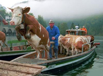 Bauer bringt Kühe vom Boot an Land. Eine Kuh springt heraus.