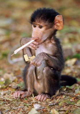 Kiffender Affe mit Tüte raucht, Kiffer-Äffchen kifft einen Joint