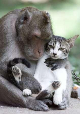 Wahre Affen-Liebe, Affe und Katze als Liebespaar