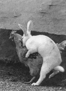 Kaninchen will sich mit einer Henne paaren