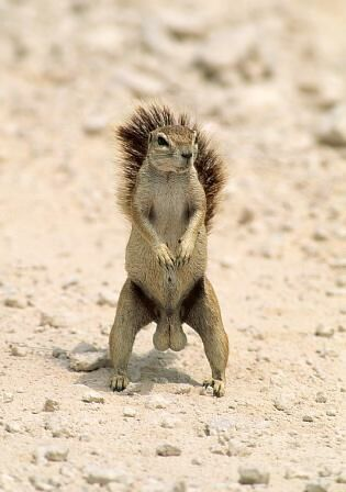 Kleines Eichhörnchen mit großem Gehänge