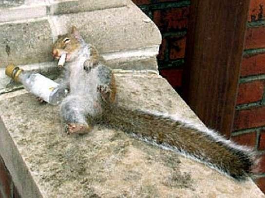 Eichhörnchen total besoffen mit Schnapsfläschchen und Zigarette