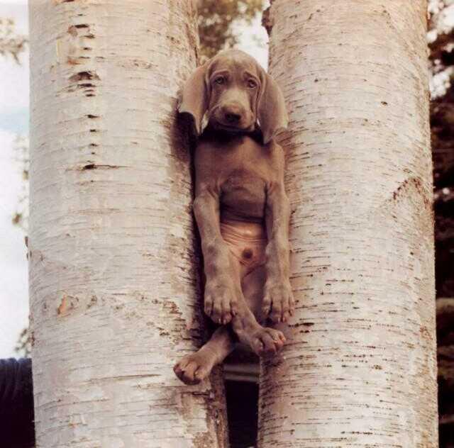Eingeklemmter Hund zwischen zwei Bäumen