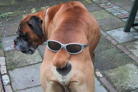 Hund mit Brille auf dem Schwanz