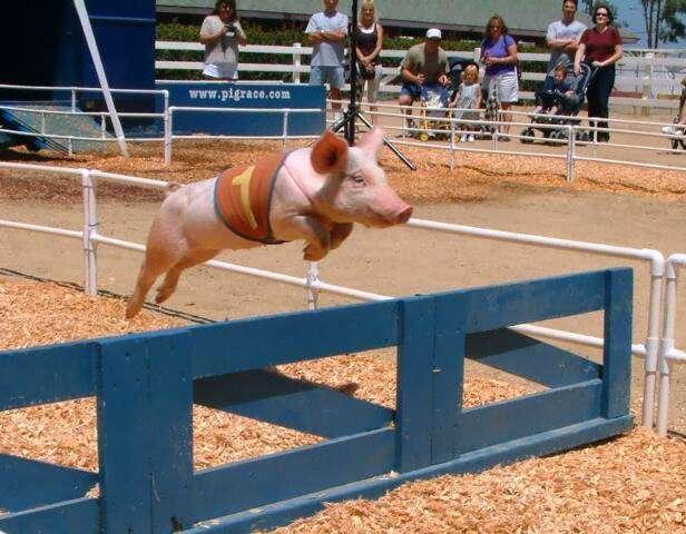 Schweinerennen mit Hindernissen