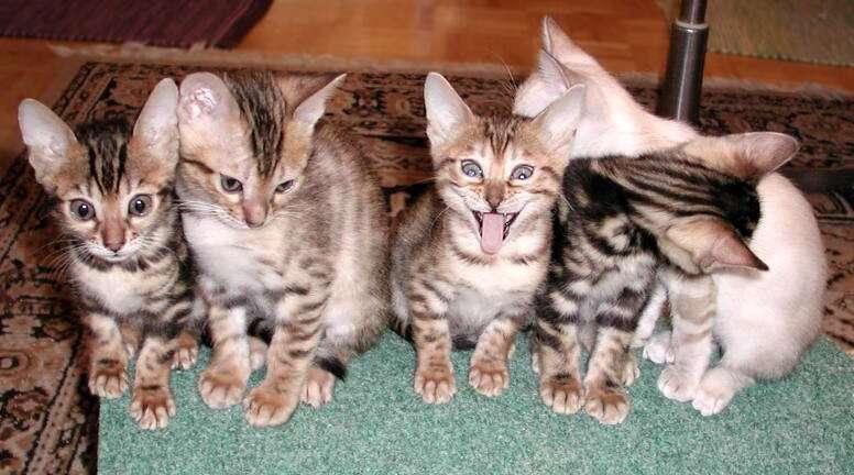 Vier kleine Kätzchen, eine mit gierigem Blick