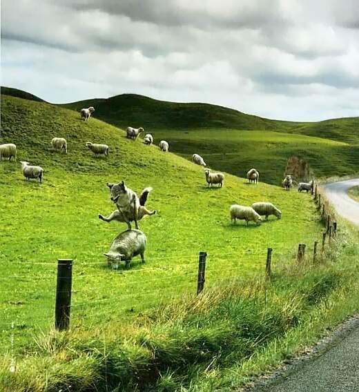 Hund oder Wolf beim Bockspringen über Schafe
