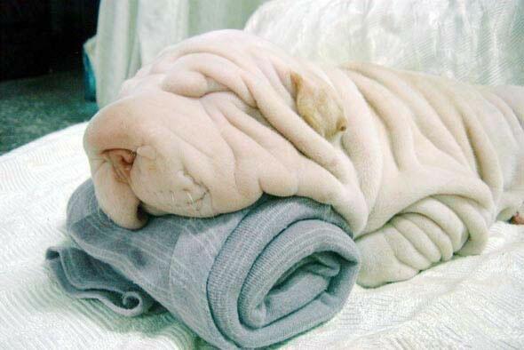 Zerknitterter Hund hat mehr Falten als das Handtuch