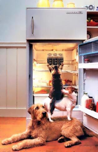 Zwei Hunde und Katze erklimmen wie bremer Stattmusikanten den Kühlschrank zum bierholen