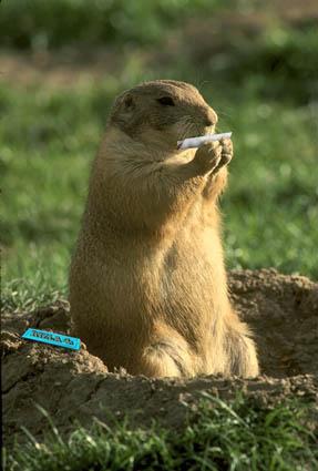 Ein Murmeltier dreht sich eine Zigarette