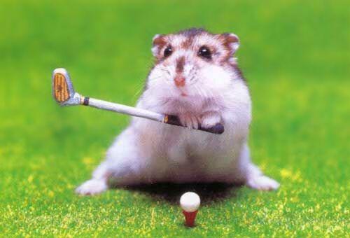 Hamster mit Golfschläger, tierischer Golf Spieler