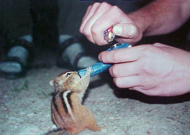 Streifenhörnchen raucht Pfeife