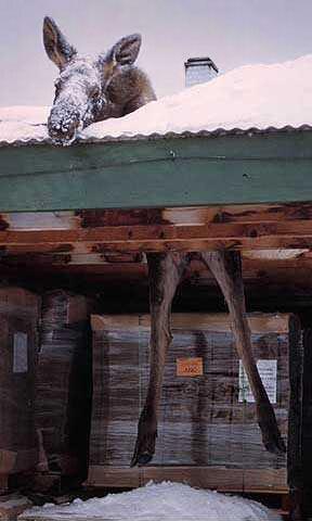 Elch kracht durch's Dach