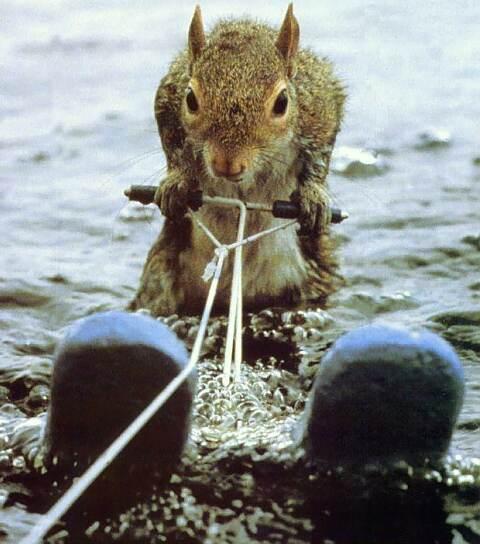 Eichhörnchen fährt Wasserski