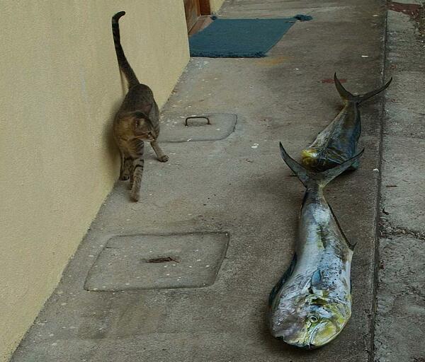 Katze beäugt skeptisch zwei rießen-Fische