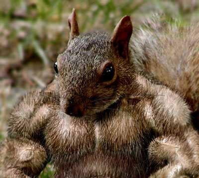 muskulöses Eichhörnchen