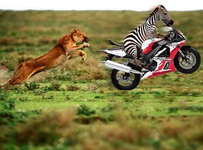 Coole Bilder Zebra Flieht Auf Honda Motorrad Vor Löwe